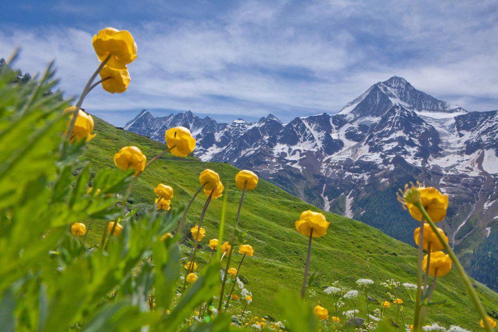 Stock Photo: 1597-173985 Lötschental, Bietschhorn, canton, Valais, mountain, mountains, Lötschental, flower, flowers, Switzerland, Europe, Laucherenalp, troll flowers