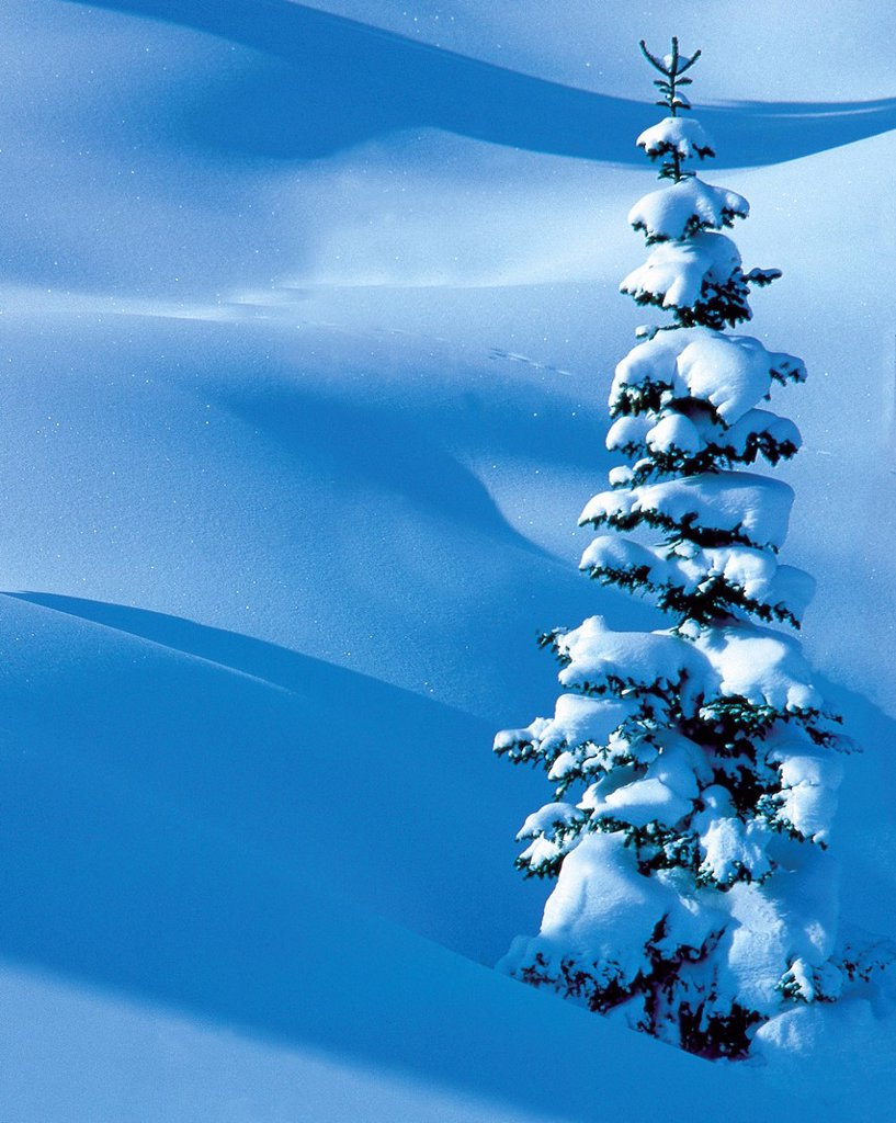 Stock Photo: 1597-176639 Austria, Europe, Tyrol, Stanzertal, stanz valley, Saint Anton, St. Anton am Arlberg, winter, tree, spruce, snow, light, shade, nature, high, ice_crystals, wood, forest, one, alone, winter scenery, winter wood, fresh, snowfall