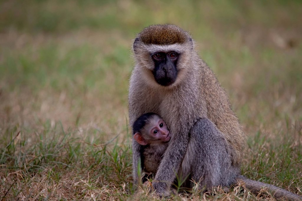 Stock Photo: 1597-177900 Dry nose monkeys, old world monkeys, Chlorocebus, Haplorhini, Catarrhini, Cercopithecidae, Cercopithecinae, Cercopithecini, suckle long_tailed monkey, monkey, Africa, Uganda, East Africa, black continent, pearl of Africa, Great Rift, nature, greenery, young animal, animal young one, animal children, mother, animals, wild animal, priorities, wilderness