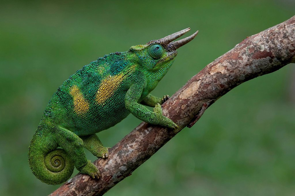 Africa, Uganda, East Africa, black continent, pearl of Africa, Great Rift, chameleon, animal, wild animal, wilderness, nature, color_cycling, reptiles, vertebrate, scale reptile, iguana_like, Chamaeleonidae, three horn chameleon, Jackson´s chameleon, Chamaeleo jacksonii : Stock Photo