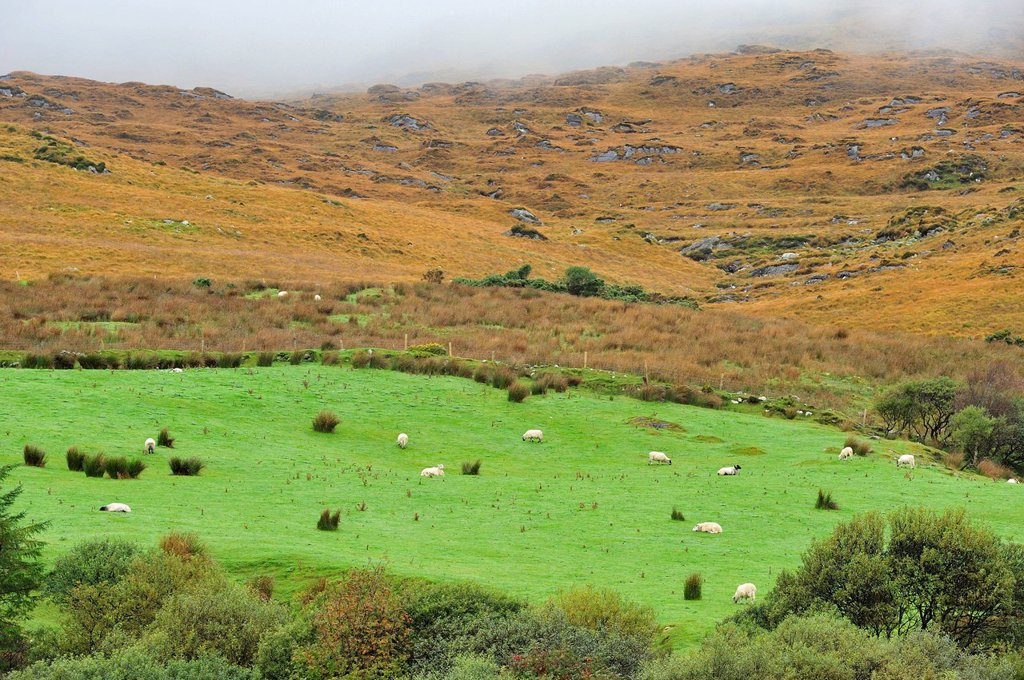 Stock Photo: 1597-179547 EU, ROI, County Kerry, Europe, European Union, Exterior, Horizontal, Ireland, Irish, Iveragh Peninsula, Outdoor, Outside, Munster, Republic Of Ireland, Ring Fort, Ring Of Kerry, Sheep, Sneem, Staigue Stone Fort, Western Europe