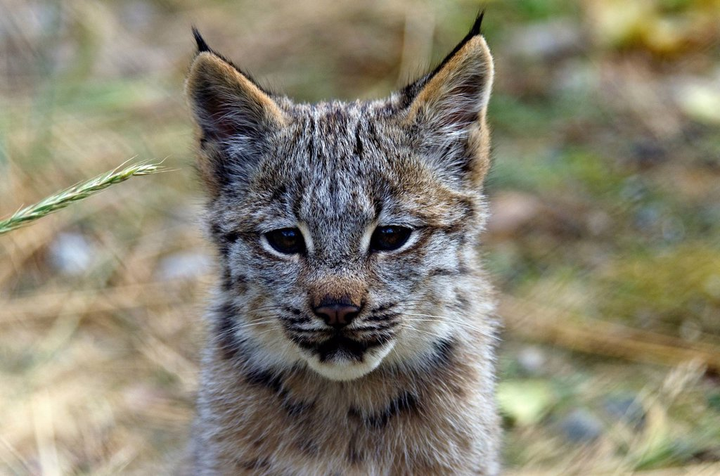 baby, Canada lynx, lynx canadensis, Yukon, Canada, lynx, cat, animal : Stock Photo