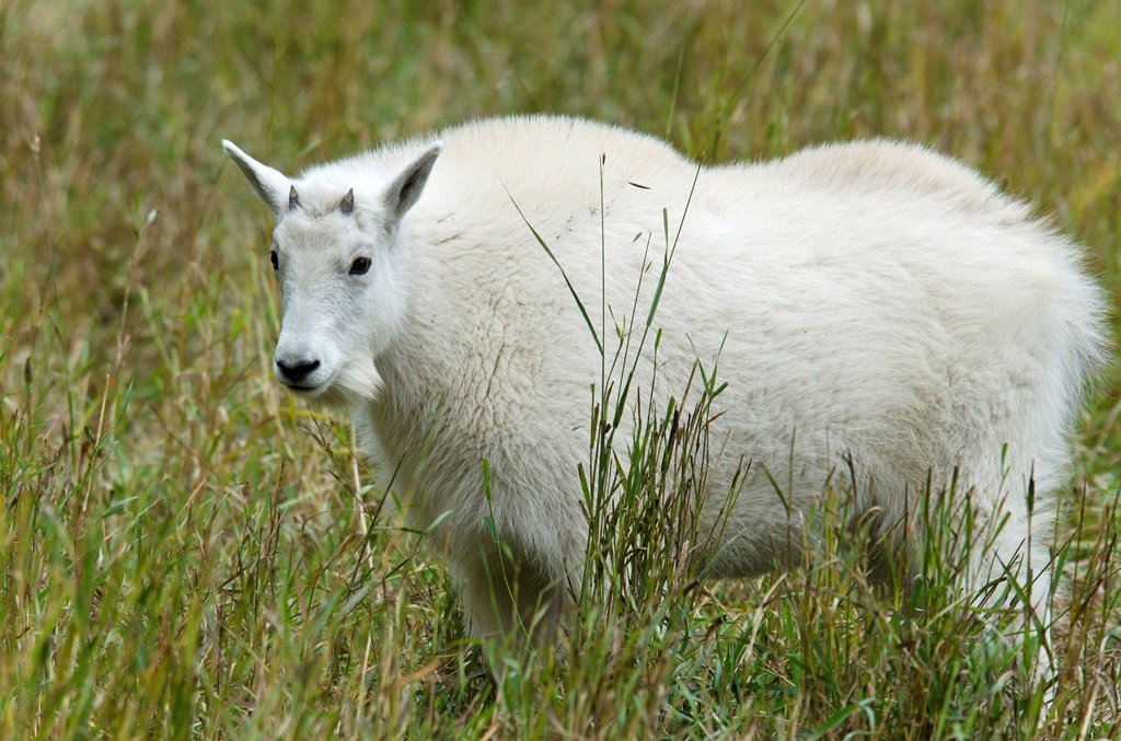 Stock Photo: 1597-180612 mountain goats, oreamnos americanus, Yukon, Canada, goats, animal