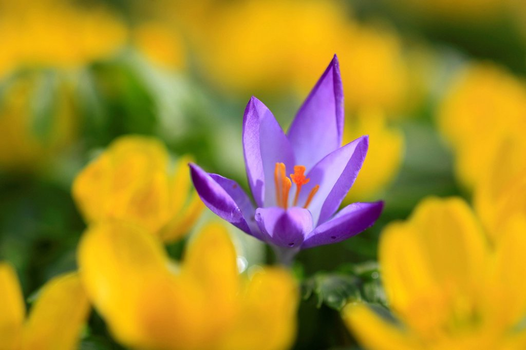 Stock Photo: 1597-182059 Flower, flowers, blossom, flourish, Crocus, detail, flora, spring, spring flower, complementary color, macro, close-up, plant, iris plant, drop, wild crocus, one, yellow, green, complementary, openly, violet, wild