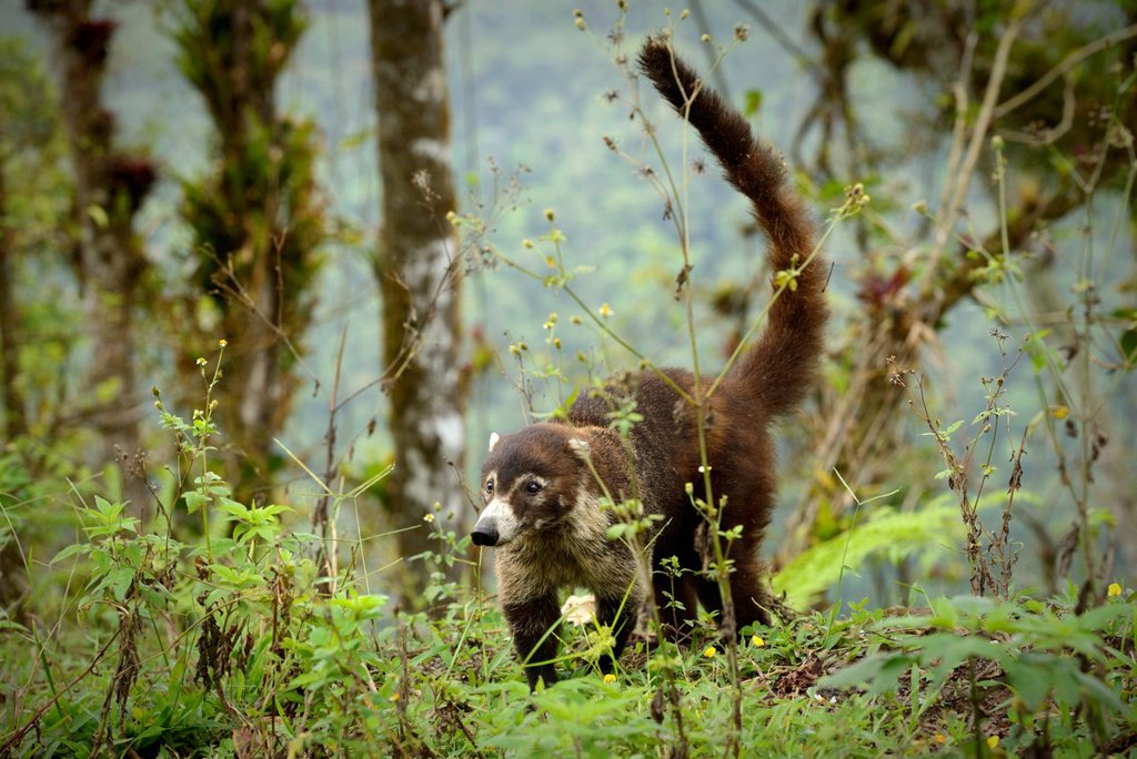 Stock Photo: 1597-182337 Central America, Costa Rica, coati, Nasua, wildlife, animal, coati mundi, Alajuela,