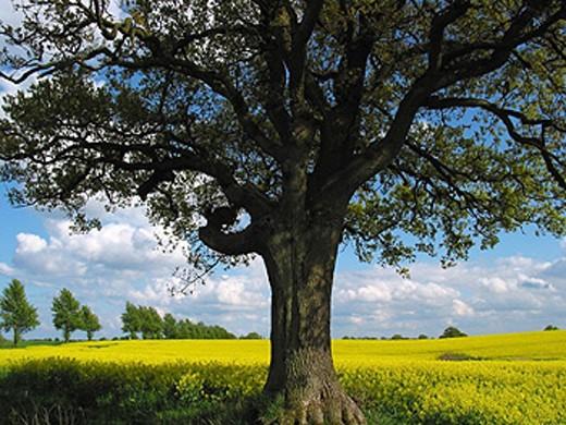 Stock Photo: 1597-18677 agriculture, field, Germany, Europe, rape, rape field, scenery, landscape, Schleswig Holstein, tree, yellow,