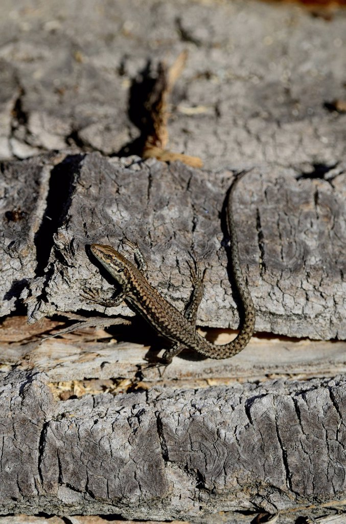 Common wall lizard, Podarcis muralis, Lacertidae, lizard, animal, reptile, Agarn, Canton Valais, Switzerland, Europe, : Stock Photo