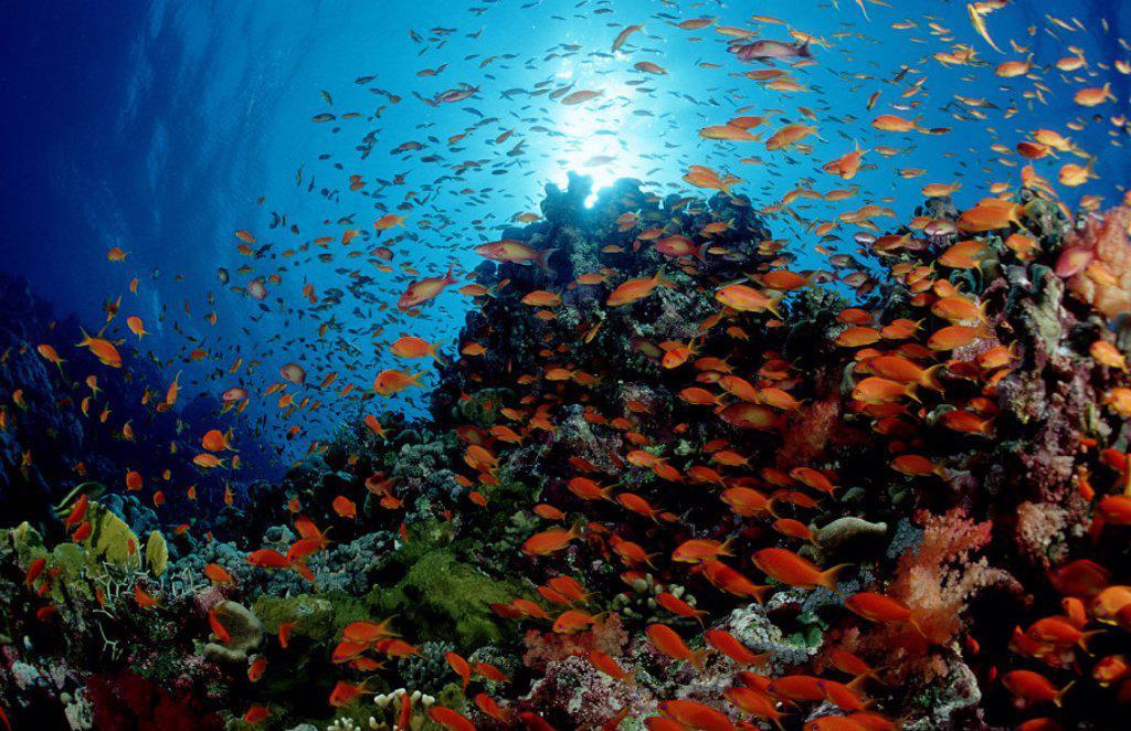Stock Photo: 1597-20245 action, diving, holiday, holidays, Jordan, live, Lyretail anthias, marine, model release, nature, ocean, Pseudanthia