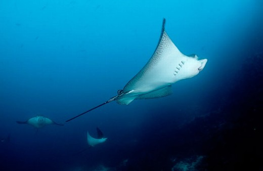 action, Aetobatus narinari, big fish, diving, Ecuador, South Amerika, endangered, Galapagos, Galápagos, holiday, hol : Stock Photo