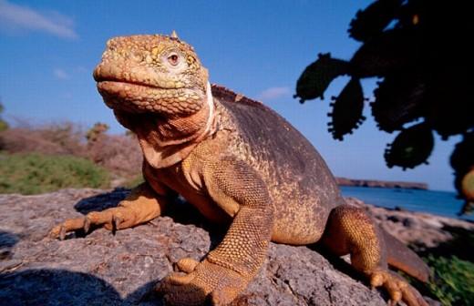 action, Conolophus subcristatus, diving, Ecuador, South Amerika, endangered species, endemic, Galapagos, Galápagos, : Stock Photo