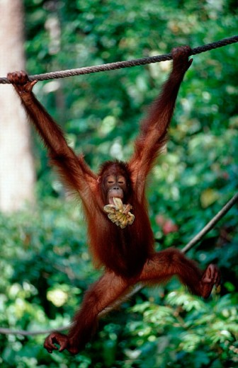 action, Borneo, cover, diving, endangered, holiday, holidays, live, Malaysia, mammel, marine, model release, Monkey, : Stock Photo