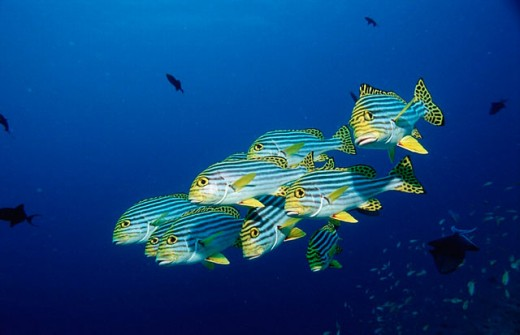 action, Ari atoll, blue, coral fish, diving, fish, holiday, holidays, Indian ocean, live, Maldives Islands, marine, : Stock Photo