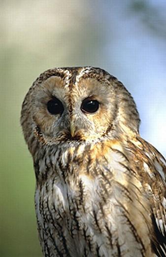 animal, animals, bird, birds, owl, portrait, Strix aluco, Tawny owl : Stock Photo