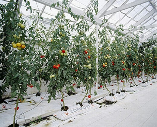 Stock Photo: 1597-2496  vegetables, Hors sol, compost bags, plants, tomatoes, hothouse, greenhouse, agriculture,