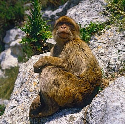 Stock Photo: 1597-25202 monkey, Berber monkey, Magot, rock, Gibraltar