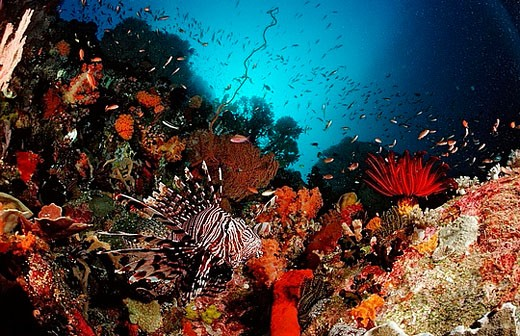 Lionfish, Turkeyfish, Indonesia, Bali, Asia, Indian Ocean, fish, fishes, turkeyfish, danger, dangerous, poisonous, tox : Stock Photo