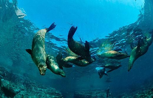 Stock Photo: 1597-29030 Group of Californian Sea Lion, Mexico, Central America, America, Sea of Cortez, Baja California, La Paz, aggregation,