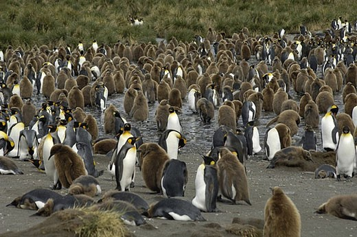 Stock Photo: 1597-29150 South Georgia, Island group, south Atlantic, gold harbor, penguin, king penguin, Aptenodytes Patagonicus, colony, peng