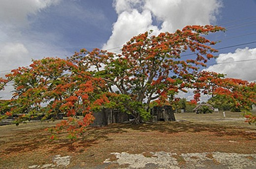 Mauritius, Flamboyant tree, flame tree, Delonix regia, blossoming, blossom, flourish, blossoms, flourish, red, green : Stock Photo