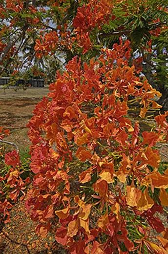 Mauritius, Flamboyant tree, flame tree, Delonix regia, blossoming, blossom, flourish, blossoms, flourish, red, green : Stock Photo