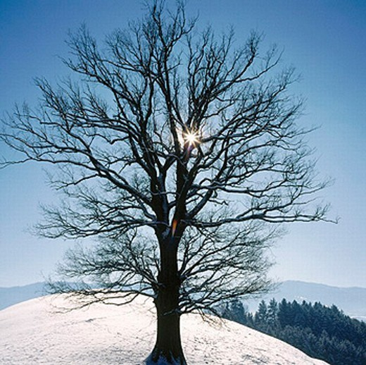 tree, background firs, hills, bald, baree, reflection, Switzerland, Europe, sun, winter, Zug, : Stock Photo