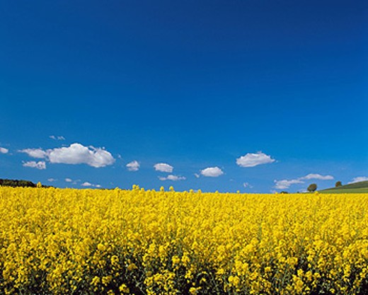 rape field, rape, Yellow, Blossoming, blossom, flourish, field, agriculture, scenery, landscape, blue sky, : Stock Photo