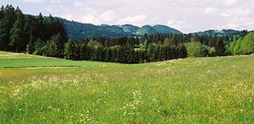 blossom, fields, canton Jura, scenery, coniferous forest, Switzerland, Europe, meadow, : Stock Photo