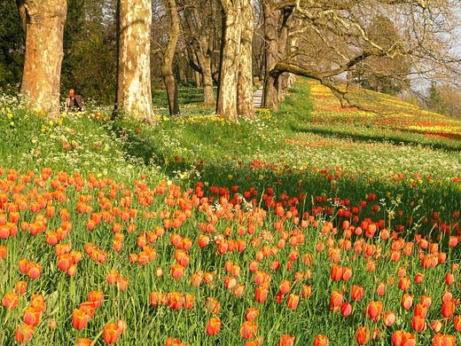 Mainau Island, Germany, Europe, Spring, Springtime, Flowers, Tulips, Blossoms, Red, Yellow, Flower meadow, Flowering, : Stock Photo