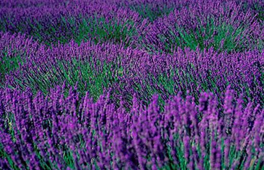 Stock Photo: 1597-34449 France, Europe, Provence, Lavender, Lavandula angustifolia, Field, Vaucluse, Blossom