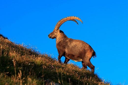 Stock Photo: 1597-34466 Alpine Ibex, Switzerland, Europe, Capra ibex, Male, Alpstein area, on Mount Santis, Appenzell Region, Fauna, full_grow