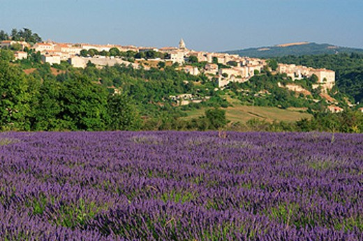 Lavender, France, Europe, Provence, Sault Village, Lavandula angustifolia, Vaucluse Departement, Bloom, Blooming, Fiel : Stock Photo