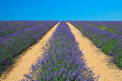 Stock Photo: 1597-34502 Lavender, France, Europe, Provence, Lavandula angustifolia, Vaucluse Departement, Bloom, Blooming, Field, Fields, Land