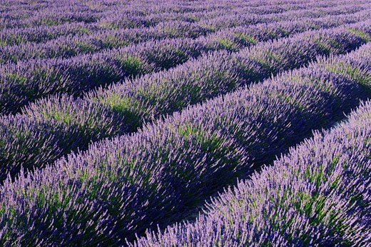 Stock Photo: 1597-34525 Lavender, France, Europe, Provence, Lavandula angustifolia, Vaucluse Departement, Bloom, Blooming, Field, Fields, Land