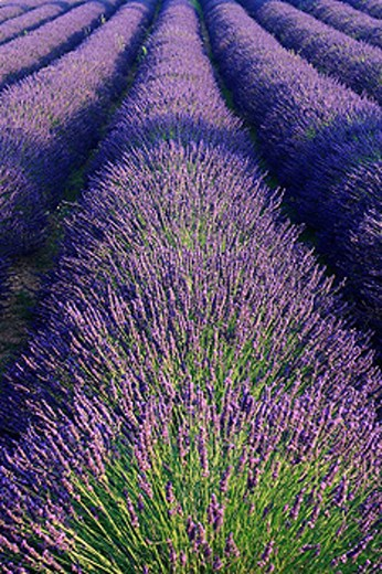 Lavender, France, Europe, Provence, Lavandula angustifolia, Vaucluse Departement, Bloom, Blooming, Field, Fields, Land : Stock Photo