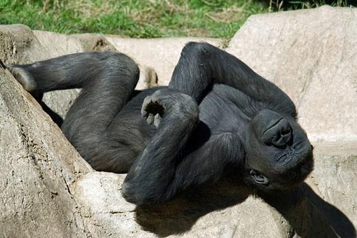 Stock Photo: 1597-35113 Western Lowland Gorilla, Gorilla gorilla gorilla, relaxed, funny, humor, sunbathing, lying