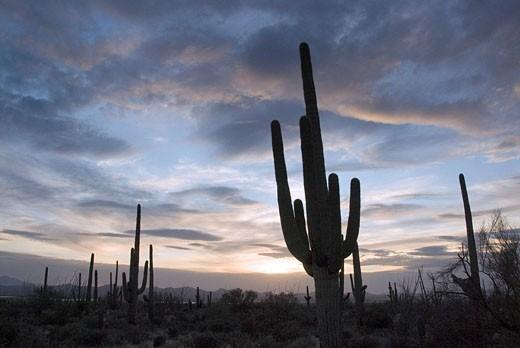 Stock Photo: 1597-35175 Saguaro cactus, Carnegiea gigantea, USA, America, United States, North America, Arizona, cacti, cactuses, desert, natu