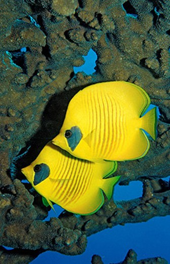 Stock Photo: 1597-35344 Masked Butterflyfishes, Chaetodon semilarvatus, Sudan, Africa, Red Sea, fish, fishes, color, colorful, yellow, coral,