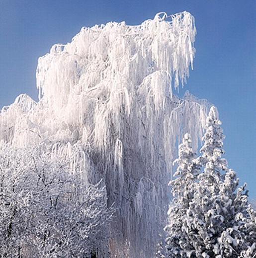 branches, hang, trees, snow, covers, firs, weeping willow, winter, Switzerland, : Stock Photo