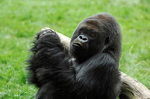 Stock Photo: 1597-37206 UK, London, Gorilla, London Zoo, Regent Park, Great Britain, Europe, England, portrait