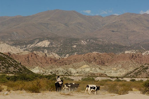 Argentina, South America, Gaucho, San Jose, Catamarca, South America, horse, rider, cows, cattle, landscape, desert, mountains : Stock Photo