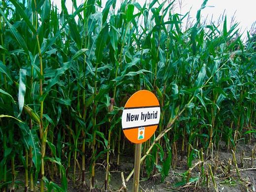 Transgenic maize, maize, corn, corn field, field, sign, shield, board, hybrid, hybrid, gene, genetic technology, resea : Stock Photo