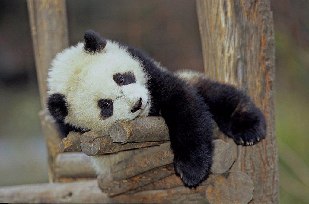 Stock Photo: 1597-40550 Giant Panda, Ailuropoda Melanoleuca, Chengdu Breeding and Research Base, Xiongmao Jidi, Sichuan, China, Asia, Baby, be