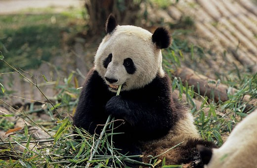 Giant Panda, Ailuropoda Melanoleuca, Chengdu Breeding and Research Base, Xiongmao Jidi, Sichuan, China, Asia, Baby, be : Stock Photo