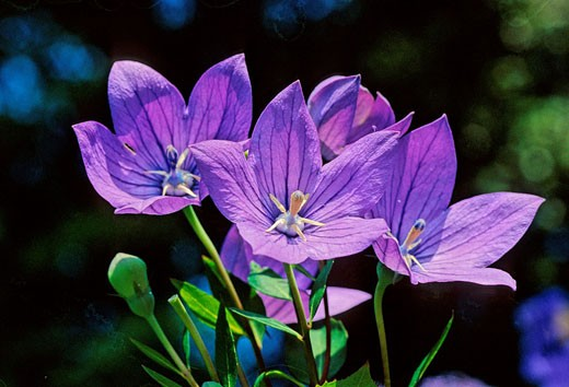 Dalmatian Bellflower, Campanula Portenschlagiana, Campanulaceae, plant, plants, flower, flowers, flowering : Stock Photo