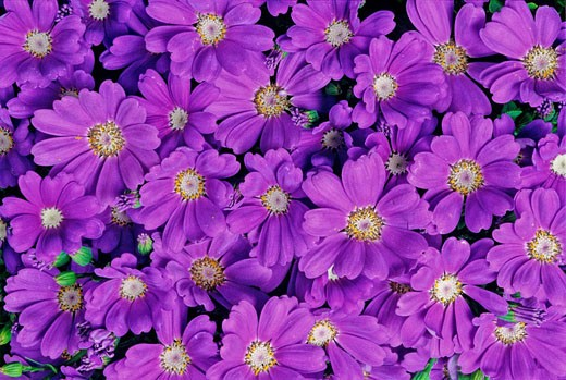 Stock Photo: 1597-40638 Cineraria X Hybrida, Compositae, Sin. Senecio X Hybridus, plant, plants, flower, flowers, flowering