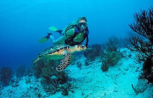 Diver, Echte Karettschildkrote, Eretmochelys imbricata, Bonaire island, Caribbean, Netherlands Antilles, Abc_island, A : Stock Photo