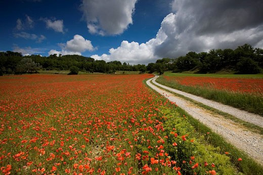 France, Europe, Provence, Mane, Blue, Flowers, Colors, Colours, Flora, Red, Way, Country Road, Flowering, Meadow, Natu : Stock Photo