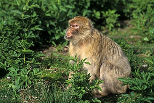 Stock Photo: 1597-44554 Barbary Macaque, Macaca sylvanus, animal, animals, monkey, Magot, Gibraltar, monkeys, one