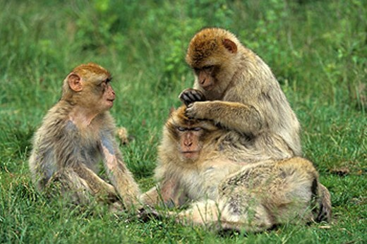 Stock Photo: 1597-44555 Barbary Macaque, Macaca sylvanus, animal, animals, monkey, Magot, Gibraltar, monkeys, delousing, three, grass