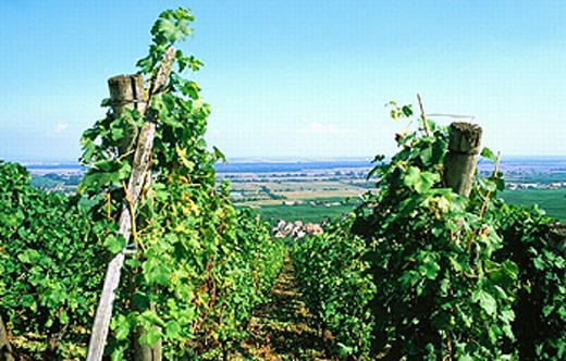 Alsace, France, Europe, Gueberschwihr, Rebhang, wine, vines, wine route, : Stock Photo